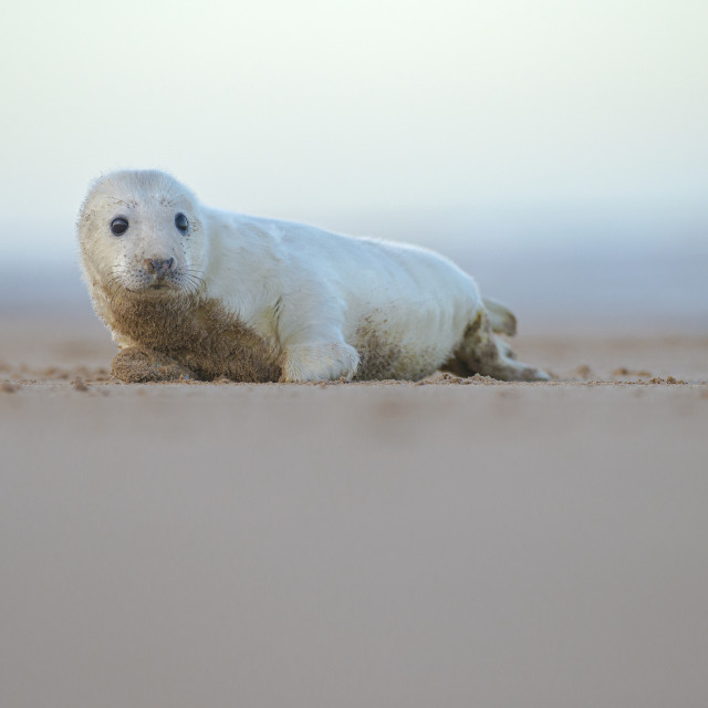 """Grey seal (halichoerus grypus)"" stock image"