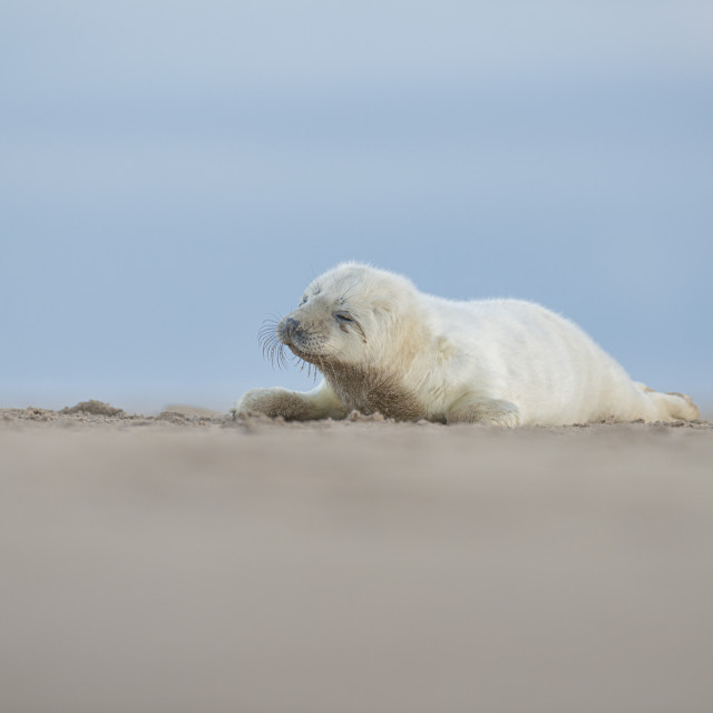 """""""Tired little seal - Grey seal (halichoerus grypus)"""" stock image"""