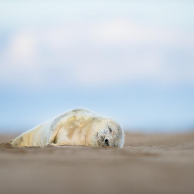 """Lazy baby seal - Grey seal (halichoerus grypus)"" stock image"