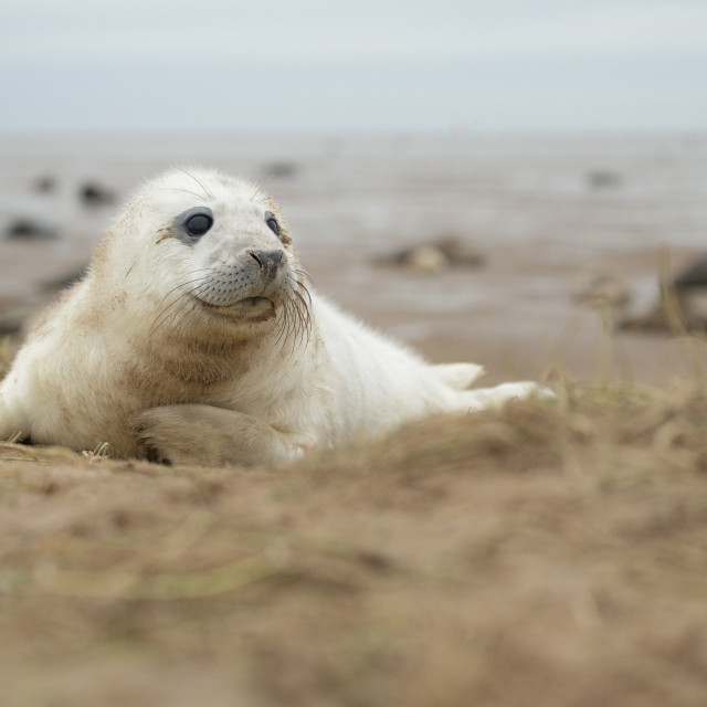 """""""Curious seal pup - Grey seal (halichoerus grypus)"""" stock image"""