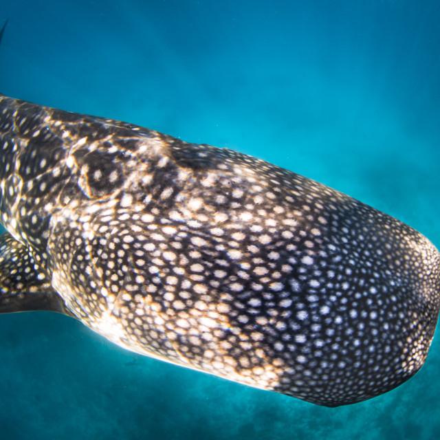 """Whale shark (Rhincodon typus)"" stock image"