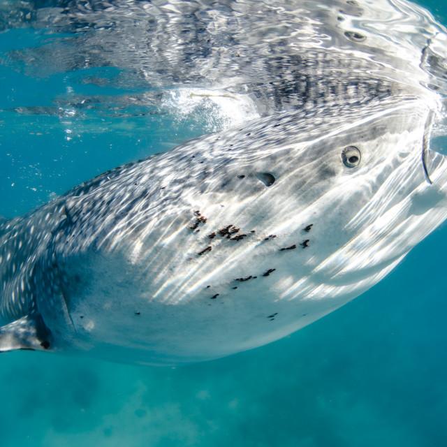 """Whale shark (Rhincodon typus) feeding."" stock image"