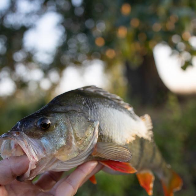 """Perch fish closeup"" stock image"