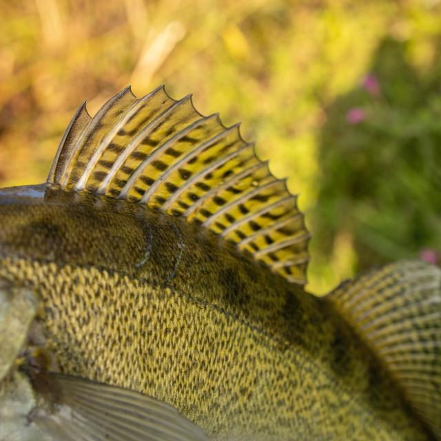 """walleye fish river fishing"" stock image"