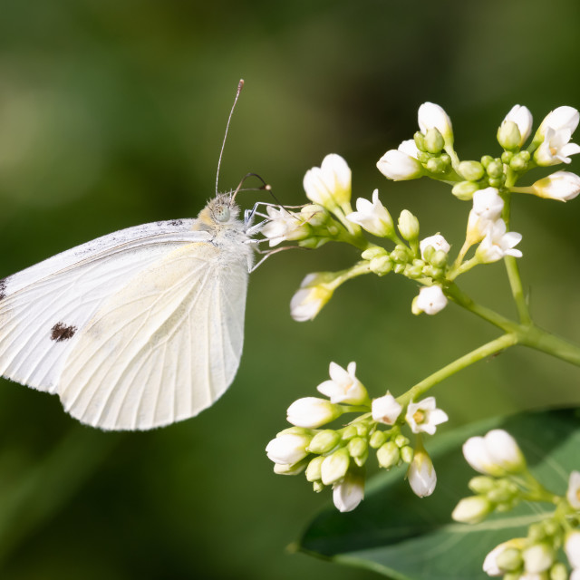 """""""Cabbage White Butterfly on Bedstraw"""" stock image"""