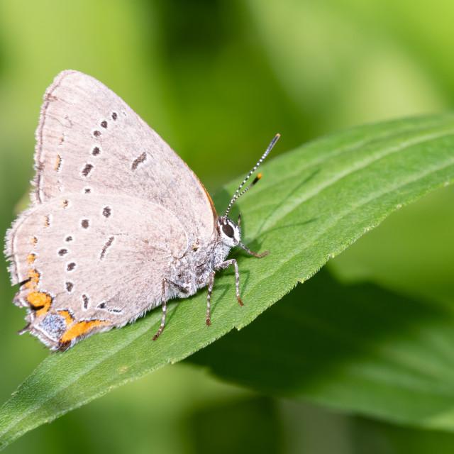 """Acadian Hairstreak Butterfly"" stock image"