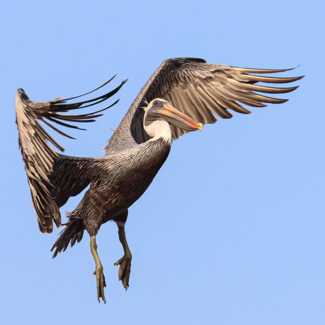 """""""Pelican in Flight"""" stock image"""