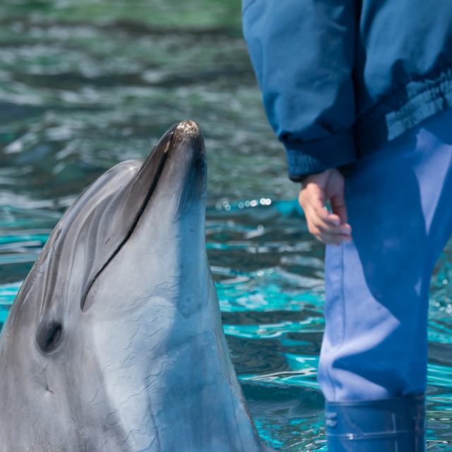 """""""Bottlenose Dolphin Interacting With Trainer"""" stock image"""