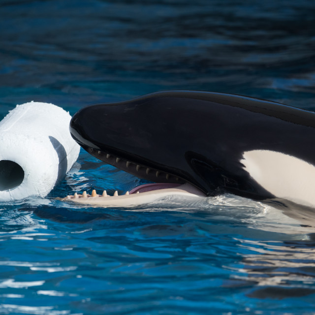 """""""Orca Playing With Toy"""" stock image"""