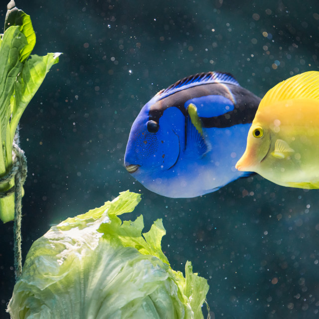 """""""Blue and Yellow Tangs Eating Lettuce"""" stock image"""