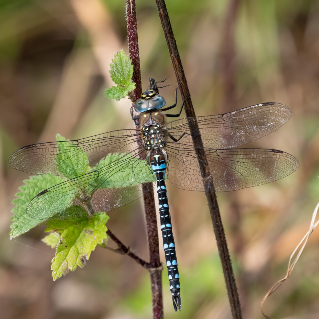 """""""Dragonfly with prey"""" stock image"""