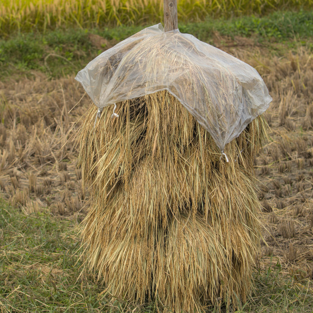 """Japanese rice straw"" stock image"