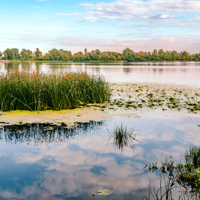 """Scirpus in the Dnieper River in Kiev"" stock image"
