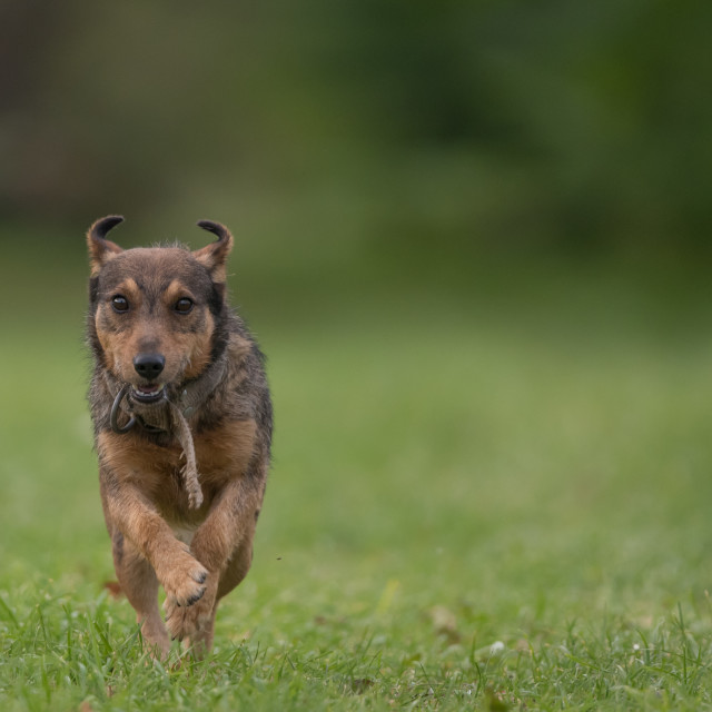 """""""Isolated small dog running on a field"""" stock image"""
