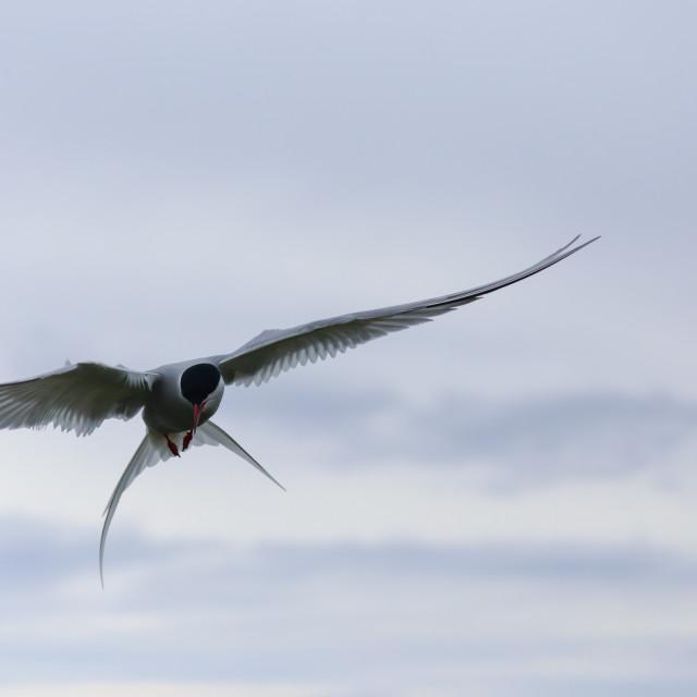 """Flying Artic Tern"" stock image"