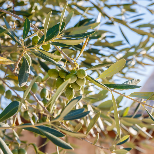 """""""Green olives on a Olive tree in Alberobello"""" stock image"""