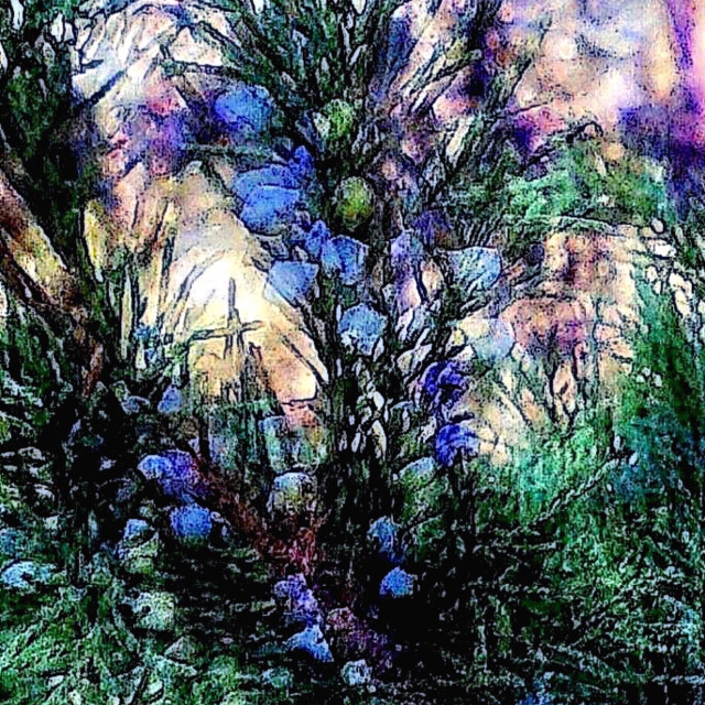 """Backyard juniper"" stock image"