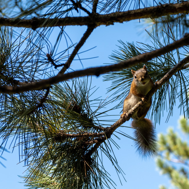 """""""Red Squirrel Perched on Pine Tree Branch"""" stock image"""
