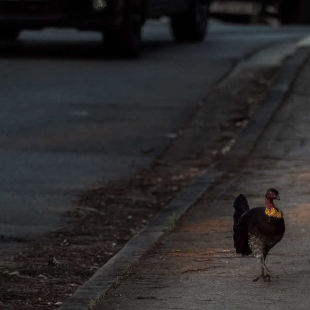 """""""Why did the turkey cross the road?"""" stock image"""