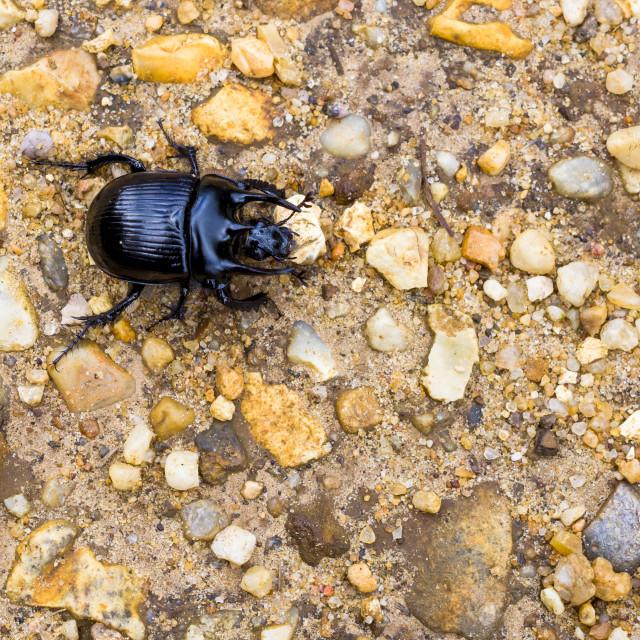"""""""Minotaur Beetle"""" stock image"""