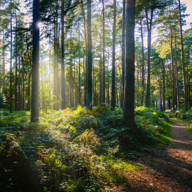"""""""Golden Hour from Thetford Forest, High Lodge, Thetford."""" stock image"""