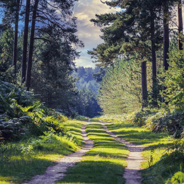 """Thetford Forest, High Lodge, Thetford UK."" stock image"