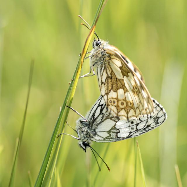 """""""Pair of Mating Marbled White Butterflies, Melanargia Galathea"""" stock image"""