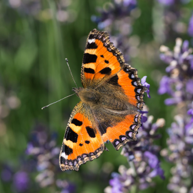 """""""Small Tortoiseshell Butterfly on Lavender"""" stock image"""