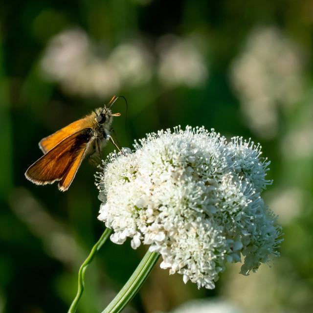 """Lulworth Skipper Butterfly taking Nectar"" stock image"
