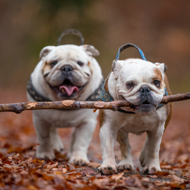 """""""Isolated English bulldogs with a large stick in the forest during fall"""" stock image"""