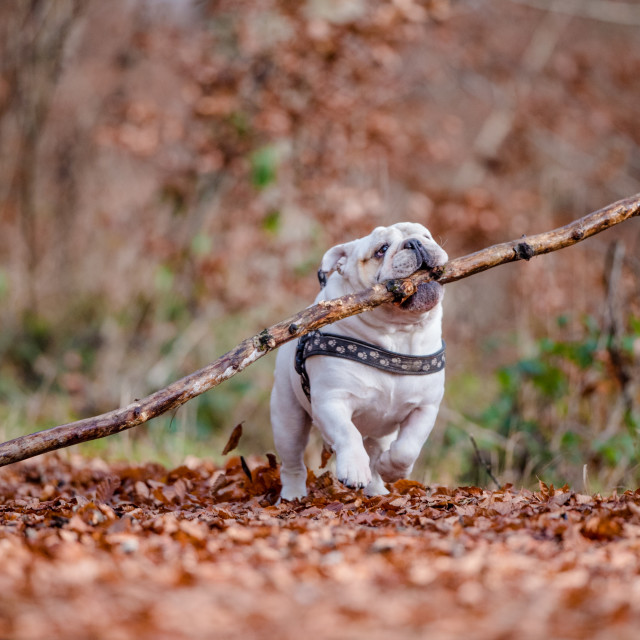 """""""Isolated English bulldog with a large stick in the forest during fall"""" stock image"""