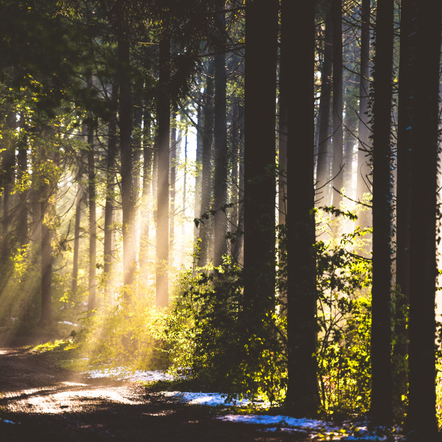 """""""Forest trees in back light"""" stock image"""