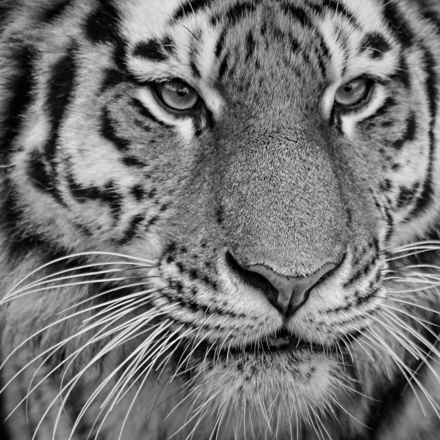 """Tiger in bw"" stock image"