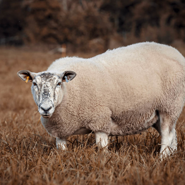 """Sheep from Fen Ditton, Cambridge UK."" stock image"