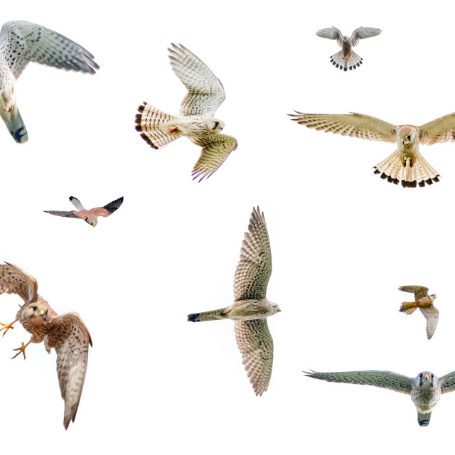 """""""Selection of isolated falcons in flight with fully open wings on white background"""" stock image"""