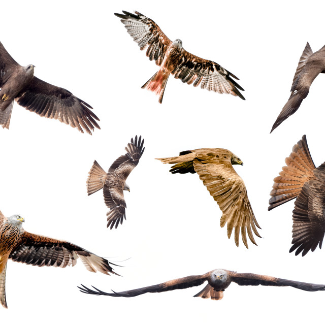 """""""Selection of isolated kites in flight with fully open wings on white background"""" stock image"""