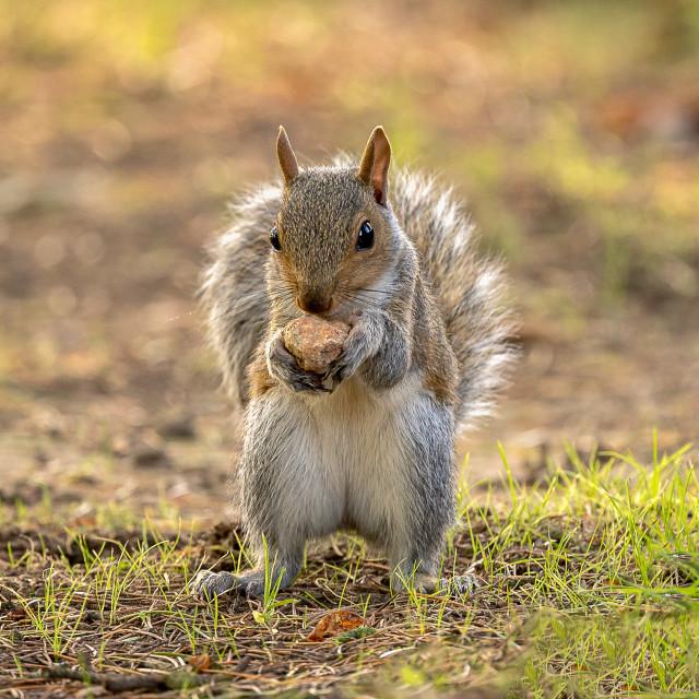 """""""Autumn Squirrel"""" stock image"""