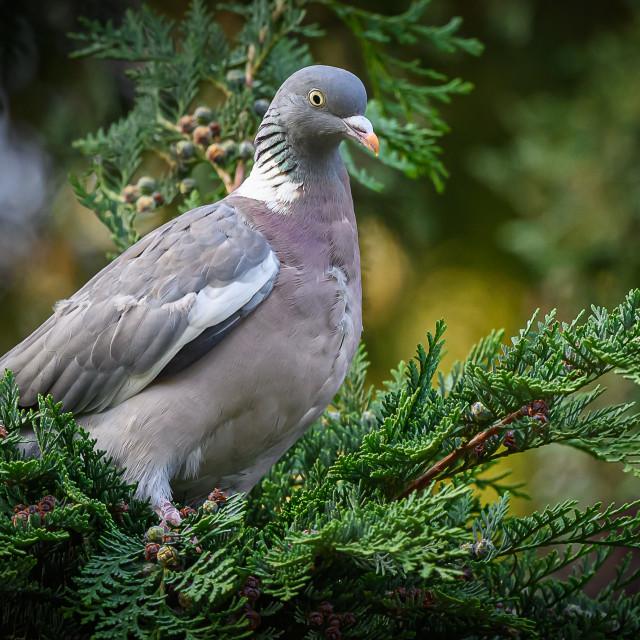 """Wood Pigeon"" stock image"