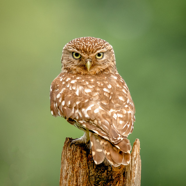 """""""Little Owl - Who's There"""" stock image"""