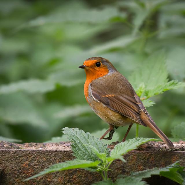 """""""Autumn Robin"""" stock image"""