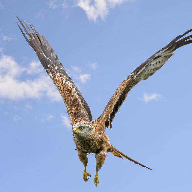 """""""Red Kite flight"""" stock image"""