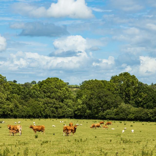 """Calves, Cows and sheep"" stock image"