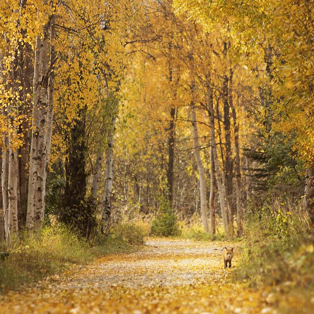 """Fall Fox in Alaska"" stock image"