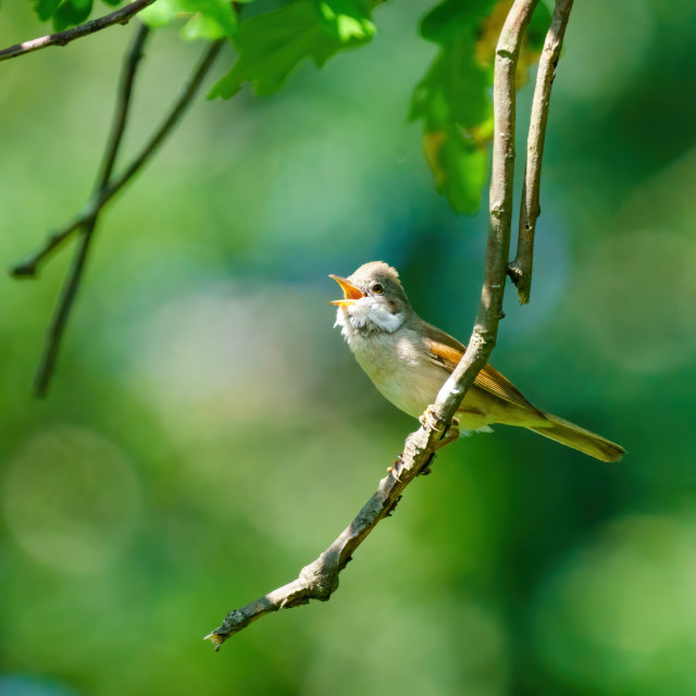 """""""Common Whitethroat (Sylvia communis) on the end of a twig, singing, taken in..."""" stock image"""