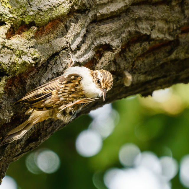 """""""Treecreeper (Certhia familiaris) perched on side of tree having a scratch,..."""" stock image"""