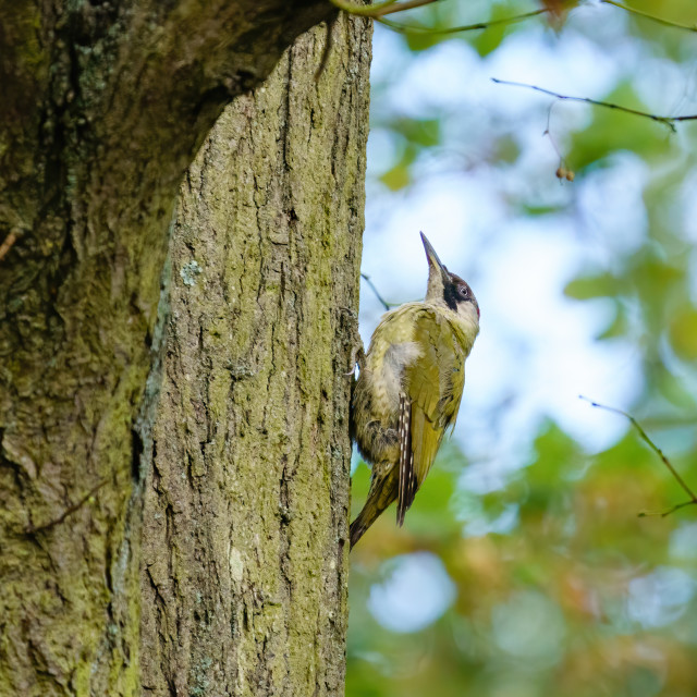 """""""Green Woodpecker (Picus viridis) male perche don side of a tree, taken in..."""" stock image"""