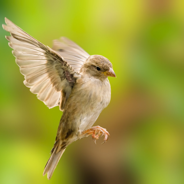 """""""House sparrow (Passer domesticus) female in flight agaisnt a blurred..."""" stock image"""