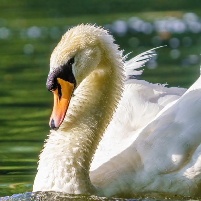 """Mute swan (Cygnus olor) on Thames River in Twickenham, UK"" stock image"