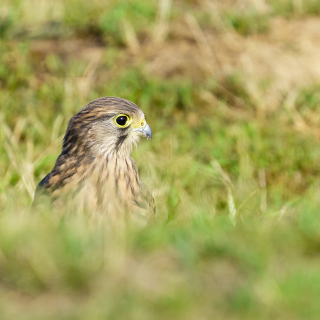 """Common Kestrel (Falco Tinnunculus) juvenile on the ground, taken in West London"" stock image"