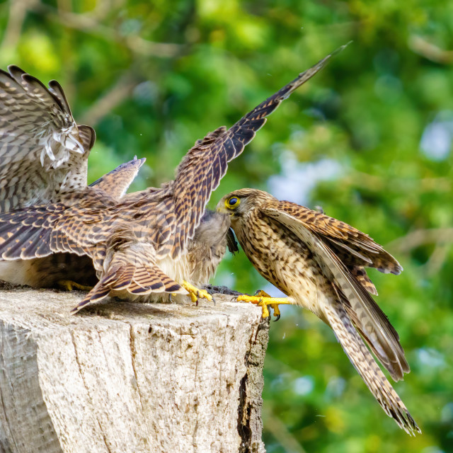 """""""Common Kestrel (Falco Tinnunculus) female bringing food home to it's young,..."""" stock image"""